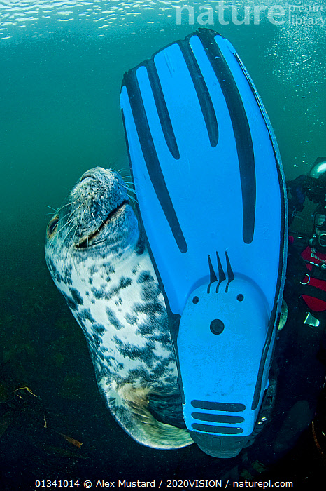 A Grey seal (Halichoerus grypus) seems content to have found a diver's fin to play with, Lundy Island, Bristol Channel, England, UK, May. Grey seals will seek out divers and clearly enjoy demonstrating their superiority in the water. They particularly like colourful and chewable dive gear., 2020VISION,BEHAVIOUR,BLUE,BRISTOL CHANNEL ,DEVON,DIVER,DIVING,ENGLAND,EUROPE,FEET,FLIPPER,GRAY,INTERACTION,LUNDY ISLAND MNR,MAMMALS,MARINE,PEOPLE,PHOCIDAE,PINNIPEDS,PLAY,PLAYFUL,PLAYING,RESERVE,SEALS,SEAS,SMILING,SWIMMING,TEMPERATE,UK,UK09_MUSTARD 11768,UNDERWATER,VERTEBRATES,VERTICAL,CARNIVORES ,Communication,United Kingdom, Alex Mustard / 2020VISION