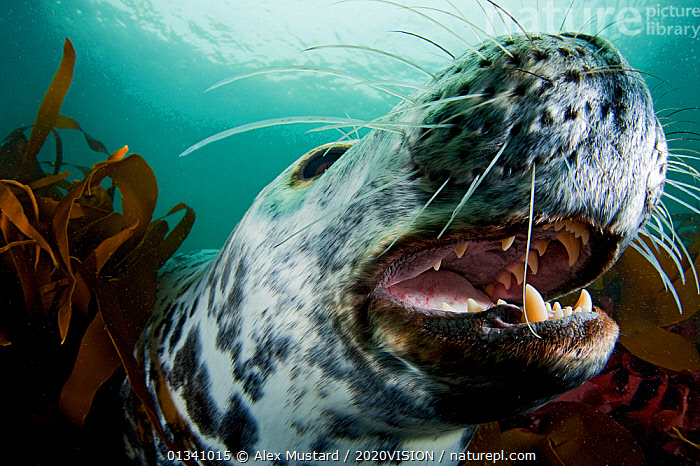 Grey seal (Halichoerus grypus) shows its teeth in a playful moment, Lundy Island, Bristol Channel, England, UK, May, 2020VISION,ALGAE,BEHAVIOUR,BRISTOL CHANNEL ,DEVON,ENGLAND,EUROPE,EXPRESSIONS,GRAY,INTERACTION,LUNDY ISLAND MNR,MAMMALS,MARINE,MOUTHS,PHOCIDAE,PINNIPEDS,RESERVE,SEALS,SEAS,SEAWEED,SWIMMING,TEETH,TEMPERATE,UK,UK09_MUSTARD 11782,UNDERWATER,VERTEBRATES,WHISKERS,Plants,CARNIVORES ,United Kingdom,2020cc, Alex Mustard / 2020VISION