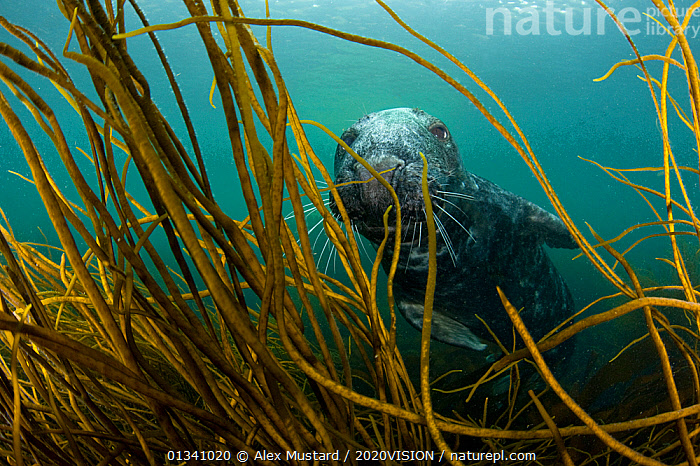 Grey seal (Halichoerus grypus) underwater, swimming amongst kelp, Lundy Island, Bristol Channel, England, UK, May, 2020VISION,BRISTOL CHANNEL ,DEVON,ENGLAND,EUROPE,GRAY,LUNDY ISLAND MNR,MAMMALS,MARINE,PHOCIDAE,PINNIPEDS,RESERVE,SEALS,SEAS,SEAWEED,SWIMMING,TEMPERATE,UK,UK09_MUSTARD 11856,UNDERWATER,VERTEBRATES,CARNIVORES ,Plants,United Kingdom, Alex Mustard / 2020VISION