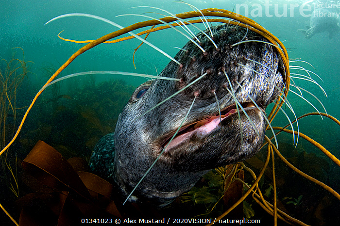 Grey seal (Halichoerus grypus) close-up underwater amongst kelp, Lundy Island, Bristol Channel, England, UK, May. Did you know? Seals can dive up 70 metres when feeding., 2020VISION,ALGAE,BRISTOL CHANNEL ,CLOSE UPS,DEVON,ENGLAND,EUROPE,picday,FACES,GRAY,LUNDY ISLAND MNR,MAMMALS,MARINE,MOUTHS,PHOCIDAE,PINNIPEDS,RESERVE,SEALS,SEAS,SEAWEED,SWIMMING,TEMPERATE,UK,UK09_MUSTARD 11873,UNDERWATER,VERTEBRATES,WHISKERS,Plants,CARNIVORES ,United Kingdom, Alex Mustard / 2020VISION