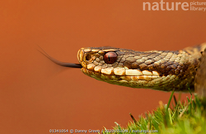 Adder (Vipera berus) basking in the spring sunshine flicking tongue, England, UK, April. Did you know? The Adder is the only venomous snake in the UK., 2020VISION,DGR_11042010_0063,ENGLAND,EUROPE,EYES,FACES,HEATHLAND,POISONOUS,PORTRAITS,PROFILE,REPTILES,RESERVE,SNAKE,SNAKES,TONGUES,UK,VENOMOUS,VERTEBRATES,VIPERIDAE,United Kingdom,picday,2020cc, Danny Green / 2020VISION