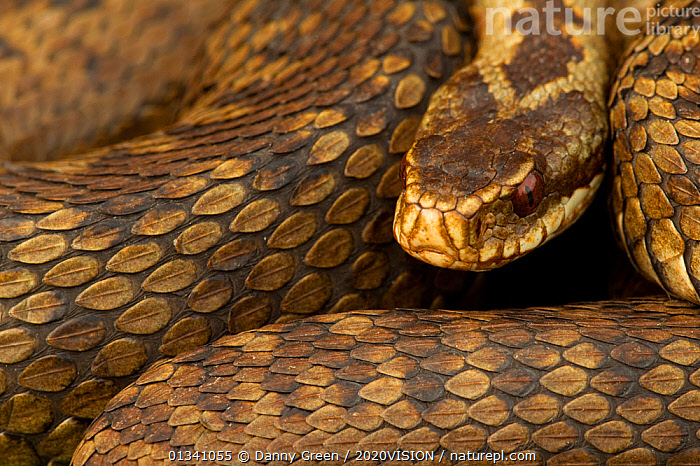 Adder (Vipera berus) basking, Staffordshire, England, UK, April, 2020VISION,CLOSE UPS,DGR_11042010_0064,ENGLAND,EUROPE,HEATHLAND,POISONOUS,REPTILES,RESERVE,SCALES,SKIN,SNAKE,SNAKES,UK,VENOMOUS,VERTEBRATES,VIPERIDAE,United Kingdom, Danny Green / 2020VISION