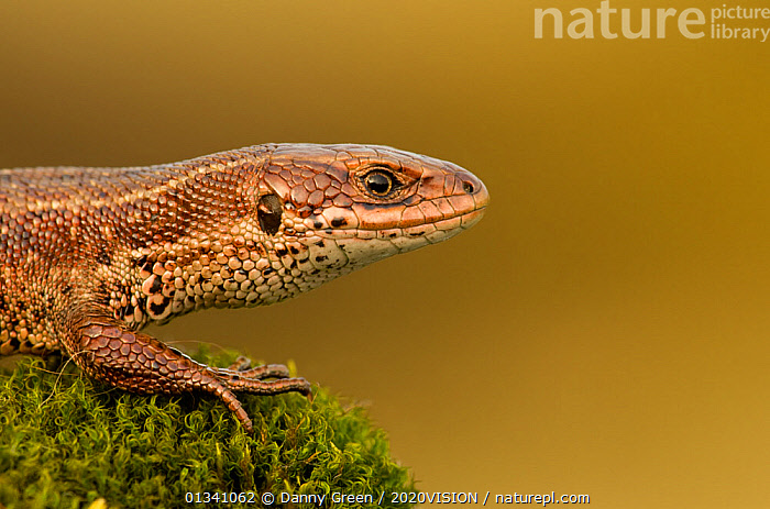 Viviparous / Common lizard (Zootoca / Lacerta vivipara) basking, Staffordshire, England, UK, April., 2020VISION,COMMON LIZARD,DGR_12042010_0048,ENGLAND,EUROPE,HEATHLAND,LIZARDS,PORTRAITS,PROFILE,REPTILES,RESERVE,SAND LIZARDS,UK,VERTEBRATES,VIVIPAROUS,ZOOTOCA VIVIPARA,United Kingdom, Danny Green / 2020VISION