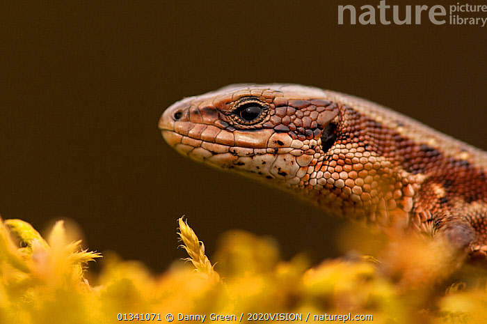 Viviparous / Common lizard (Zootoca /Lacerta  vivipara) portrait, Staffordshire, England, UK, April. 2020VISION Book Plate. Did you know? Common lizards are both able to lay eggs and give birth.  ,  2020VISION,2020vision book plate,COMMON LIZARD,dgr_19032010_0050,picday,ENGLAND,EUROPE,HEATHLAND,LIZARDS,PORTRAITS,PROFILE,REPTILES,RESERVE,SAND LIZARDS,UK,VERTEBRATES,VIVIPAROUS,Zootoca,ZOOTOCA VIVIPARA,United Kingdom,2020cc  ,  Danny Green / 2020VISION