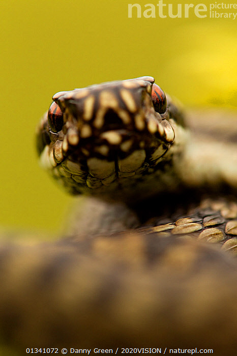 Adder (Vipera berus) portrait, Staffordshire, England, UK, April, 2020VISION,DGR_19032010_0072,ENGLAND,EUROPE,HEATHLAND,LOOKING AT CAMERA,POISONOUS,PORTRAITS,REPTILES,RESERVE,SNAKE,SNAKES,UK,VENOMOUS,VERTEBRATES,VERTICAL,VIPERIDAE,United Kingdom,2020cc, Danny Green / 2020VISION