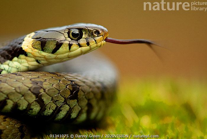 Grass Snake (Natrix natrix) portrait with tongue extended, Staffordshire, England, UK, April, 2020VISION,Colubridae,dgr_11042010_0054,ENGLAND,EUROPE,non-venomous,PORTRAITS,PROFILE,REPTILES,RESERVE,SNAKES,TONGUES,UK,URBAN,VERTEBRATES,NATRIX NATRIX,,,, Danny Green / 2020VISION