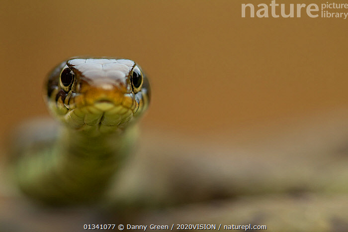 Grass Snake (Natrix natrix) head on portrait,  Staffordshire, England, UK, April. 2020VISION Book Plate., 2020VISION,2020vision book plate,Colubridae,dgr_11042010_0056,ENGLAND,EUROPE,looking at camera,non venomous,REPTILES,RESERVE,SNAKES,UK,URBAN,VERTEBRATES,United Kingdom, Danny Green / 2020VISION