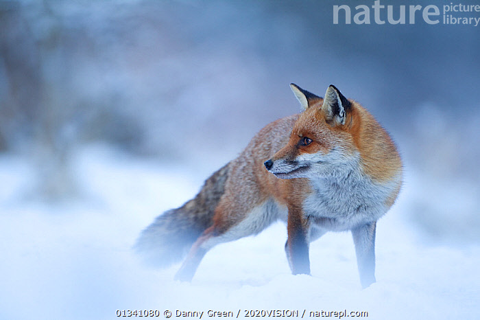 Red Fox (Vulpes vulpes) vixen in snow, Cannock Chase, Staffordshire, England, UK, December, 2020VISION,CANIDAE,CARNIVORES,DGR_19122010_0106,ENGLAND,EUROPE,FARMLAND,FEMALE,FEMALES,FOXES,MAMMALS,RESERVE,SNOW,UK,VERTEBRATES,WINTER,United Kingdom,Dogs,Canids, Danny Green / 2020VISION