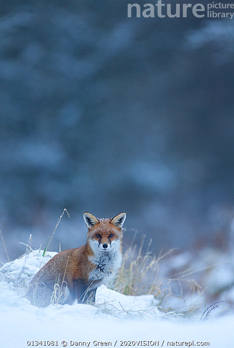 Red Fox (Vulpes vulpes) vixen in snow, Cannock Chase, Staffordshire, England, UK, December, 2020VISION,CANIDAE,CARNIVORES,DGR_21122010_0107,ENGLAND,EUROPE,FARMLAND,FOXES,MAMMALS,RESERVE,SITTING,SNOW,UK,VERTEBRATES,VERTICAL,WINTER,United Kingdom,Dogs,Canids, Danny Green / 2020VISION