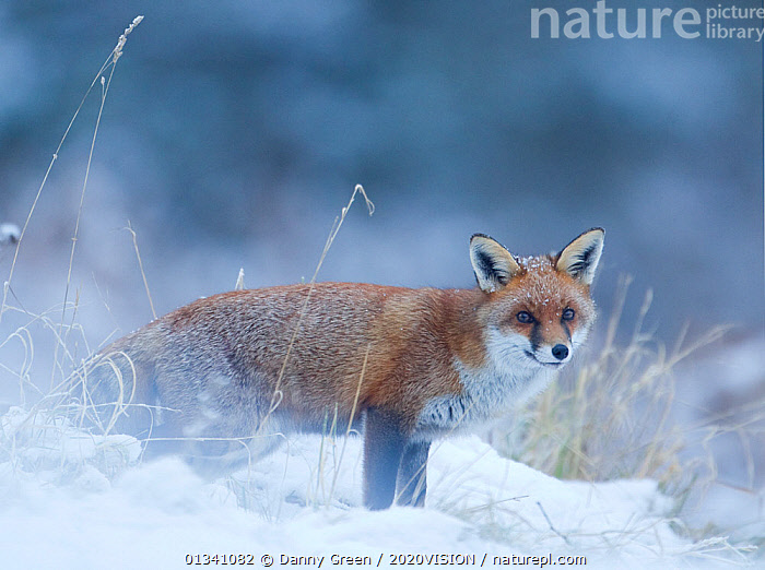Red Fox (Vulpes vulpes) vixen in snow, Cannock Chase, Staffordshire, England, UK, December. Did you know? Foxes have whiskers on their legs as well as their heads to help them to find their way around., 2020VISION,CANIDAE,CARNIVORES,picday,DGR_21122010_0108,ENGLAND,EUROPE,FARMLAND,FEMALE,FEMALES,FOXES,LOOKING AT CAMERA,MAMMALS,RESERVE,SNOW,UK,VERTEBRATES,WINTER,United Kingdom,Dogs,Canids, Danny Green / 2020VISION