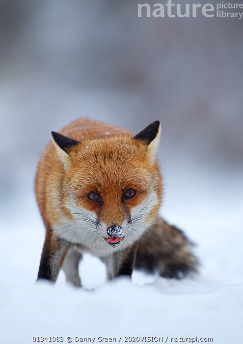 Red Fox (Vulpes vulpes) vixen in snow, Cannock Chase, Staffordshire, England, UK, December, 2020VISION,CANIDAE,CARNIVORES,DGR_22122010_0109,ENGLAND,EUROPE,FARMLAND,FOXES,LOOKING AT CAMERA,MAMMALS,RESERVE,SNOW,TONGUE,TONGUES,UK,VERTEBRATES,VERTICAL,WINTER,United Kingdom,Dogs,Canids, Danny Green / 2020VISION
