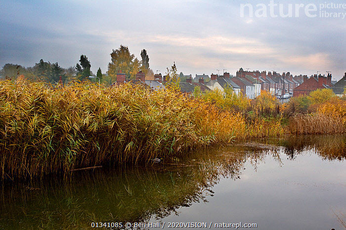 River with reedbed and housing in the background, The National Forest, Central England, UK, November 2010, 2020VISION,AUTUMN,BHA_ 02_01112010_0001,BUILDINGS,DERBYSHIRE,ENGLAND,EUROPE,FORESTS,HOUSES,LANDSCAPES,LEICESTERSHIRE,PEACEFUL,REEDBED,REEDS,REFLECTIONS,RESERVE,RIVERS,STAFFORDSHIRE,UK,VILLAGES,United Kingdom, Ben Hall / 2020VISION
