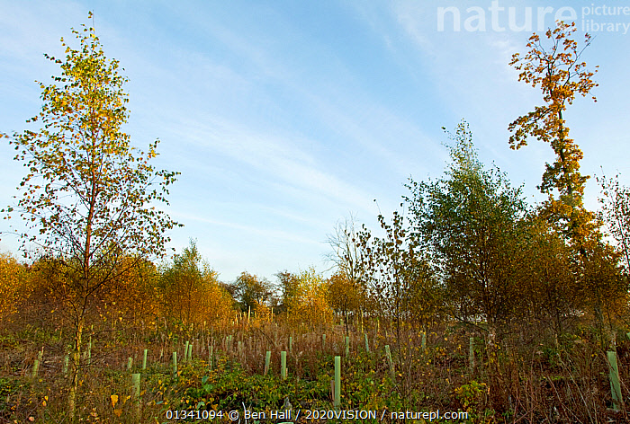 Young tree plantation with mature woodland in background, The National Forest, Central England, UK, November 2010, 2020VISION,AUTUMN,BHA_ 02_01112010_0019,CONSERVATION,DERBYSHIRE,ENGLAND,EUROPE,FORESTS,GROWTH,HABITAT,LANDSCAPES,LEICESTERSHIRE,PLANTATIONS,PROTECTION,REGENERATION,RESERVE,STAFFORDSHIRE,TREES,UK,WOODLANDS,Concepts,PLANTS,United Kingdom, Ben Hall / 2020VISION