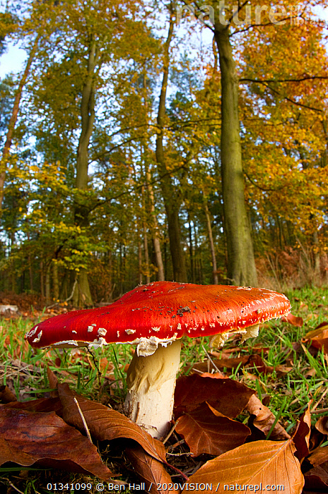 Fly agaric fungus (Amanita muscaria) in woodland setting, The National Forest, Central England, UK, November 2010, 2020VISION, AGARIC, AMANITACEAE, bha_ 02_01112010_0028, Derbyshire, ENGLAND, EUROPE, FORESTS, FUNGI, FUNGUS, HABITAT, Leicestershire, RED, RESERVE, Staffordshire, UK, VERTICAL, WOODLANDS,United Kingdom,2020cc, Ben Hall / 2020VISION
