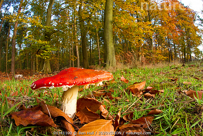 Fly agaric fungus (Amanita muscaria) in woodland setting, The National Forest, Central England, UK, November 2010, 2020VISION, AGARIC, AMANITACEAE, Beech, bha_ 02_01112010_0030, BROADLEAF, Derbyshire, ENGLAND, EUROPE, FORESTS, FUNGI, HABITAT, Leicestershire, RED, RESERVE, Staffordshire, UK, WOODLANDS,United Kingdom, Ben Hall / 2020VISION