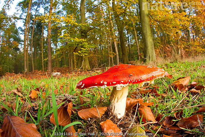 Fly agaric fungus (Amanita muscaria) in woodland setting, The National Forest, Central England, UK, November 2010. 2020VISION Book Plate., 2020VISION, 2020vision book plate, AGARIC, AMANITACEAE, bha_ 02_01112010_0031, Derbyshire, ENGLAND, EUROPE, FORESTS, FUNGI, HABITAT, Leicestershire, RED, RESERVE, Staffordshire, UK, WOODLANDS,United Kingdom, Ben Hall / 2020VISION