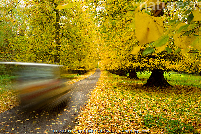 Car driving down avenue of mature Lime trees leading to Calke Abbey, The National Forest, Derbyshire, UK, November 2010, 2020VISION,AUTUMN,BHA_ 02_02112010_0036,BLURRED,CARS,DERBYSHIRE,ENGLAND,EUROPE,FORESTS,LEAVES,RESERVE,ROADS,SPEED,TILIA,TREES,UK,VEHICLES,WOODLANDS,YELLOW,PLANTS,United Kingdom, Ben Hall / 2020VISION