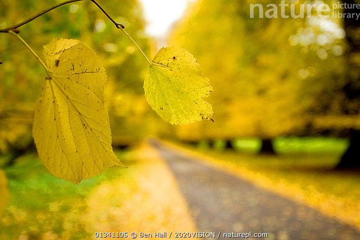 Lime tree leaf in foreground of avenue of mature Lime trees leading to Calke Abbey, The National Forest, Derbyshire, UK, November 2010, 2020VISION,AUTUMN,BHA_ 02_02112010_0037,DERBYSHIRE,DRIVEWAY,ENGLAND,EUROPE,FOREST,FORESTS,LANDSCAPES,LEAVES,RESERVE,ROADS,TILIA,UK,WOODLANDS,YELLOW,United Kingdom, Ben Hall / 2020VISION