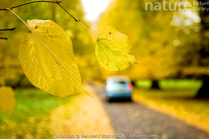 Lime tree leaf in foreground with car driving down avenue of mature Lime trees leading to Calke Abbey, The National Forest, Derbyshire, UK, November 2010. Did you know? The surname of the famous taxonomist Carl Linnaeus comes from the Swedish word for lime tree., 2020VISION,AUTUMN,BHA_ 02_02112010_0039,picday,CARS,DERBYSHIRE,ENGLAND,EUROPE,FORESTS,LEAVES,RESERVE,ROADS,TILIA,UK,VEHICLES,WOODLANDS,YELLOW,United Kingdom, Ben Hall / 2020VISION