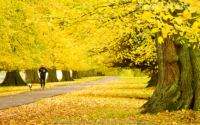 Man with dog jogging down avenue of mature Lime trees leading to Calke Abbey, The National Forest, Derbyshire, UK, November 2010, 2020VISION,AUTUMN,BHA_ 02_02112010_0040,DERBYSHIRE,DOGS,ENGLAND,EUROPE,EXERCISE,FORESTS,JOGGING,LANDSCAPES,MAN,PEOPLE,PETS,RESERVE,ROADS,RUNNING,TREES,TRUNKS,UK,WOODLANDS,YELLOW,PLANTS,United Kingdom, Ben Hall / 2020VISION