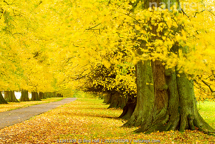 Avenue of mature Lime trees leading to Calke Abbey, The National Forest, Derbyshire, UK, November 2010, 2020VISION,AUTUMN,BHA_ 02_02112010_0042,COLOURFUL,DERBYSHIRE,ENGLAND,EUROPE,FORESTS,LANDSCAPES,LEAVES,RESERVE,ROADS,TREES,TRUNKS,UK,WOODLANDS,YELLOW,PLANTS,United Kingdom, Ben Hall / 2020VISION