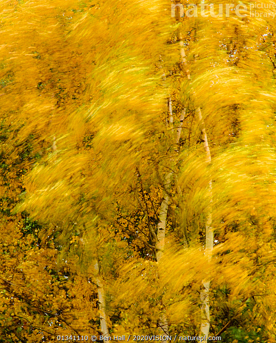 Birch trees blowing in high winds, long exposure, Calke Abbey, The National Forest, Central England, UK, November 2010, 2020VISION,ABSTRACT,AUTUMN,BETULA,BETULACEAE,BHA_ 02_02112010_0044,BIRCH,BLOWING,BLURRED,DERBYSHIRE,DICOTYLEDONS,ENGLAND,EUROPE,FORESTS,LEAVES,MOVEMENT,PLANTS,RESERVE,TREES,UK,VERTICAL,WIND,WOODLANDS,YELLOW,United Kingdom,Weather, Ben Hall / 2020VISION