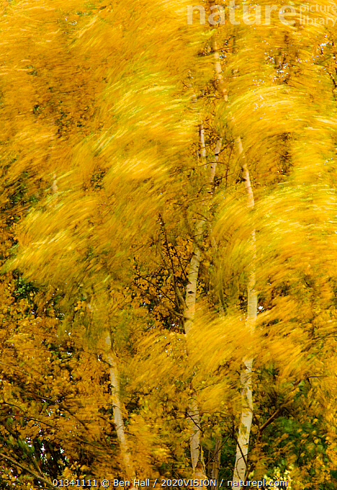 Birch trees blowing in high winds, long exposure, Calke Abbey, The National Forest, Central England, UK, November 2010, 2020VISION,ABSTRACT,AUTUMN,BETULA,BETULACEAE,BHA_ 02_02112010_0045,BIRCH,BLOWING,BLURRED,DERBYSHIRE,DICOTYLEDONS,ENGLAND,EUROPE,FORESTS,LEAVES,MOVEMENT,PLANTS,RESERVE,TREES,UK,VERTICAL,WIND,WOODLANDS,YELLOW,United Kingdom,Weather,2020cc, Ben Hall / 2020VISION