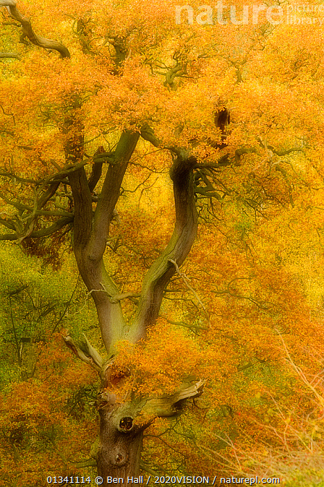 Oak tree in Autumn, Calke Abbey, soft filter, The National Forest, Central England, UK, November 2010, 2020VISION,ABSTRACT,ARTY SHOTS,AUTUMN,BHA_ 02_02112010_0048,BRANCHES,COLOURFUL,DERBYSHIRE,DICOTYLEDONS,DIFFUSED,ENGLAND,EUROPE,FAGACEAE,FORESTS,ORANGE,PLANTS,RESERVE,TREES,UK,VERTICAL,WOODLANDS,YELLOW,United Kingdom, Ben Hall / 2020VISION