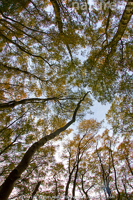 Wide-angle view looking up into birch woodland canopy, The National Forest, Central England, UK, November 2010, 2020VISION,ARTY SHOTS,AUTUMN,BACKGROUNDS,BETULACEAE,BHA_ 02_02112010_0056,CANOPY,DERBYSHIRE,DICOTYLEDONS,ENGLAND,EUROPE,FOREST,FORESTS,LEICESTERSHIRE,LOW ANGLE SHOT,PLANTS,RESERVE,STAFFORDSHIRE,TREES,UK,VERTICAL,WOODLANDS,United Kingdom, Ben Hall / 2020VISION
