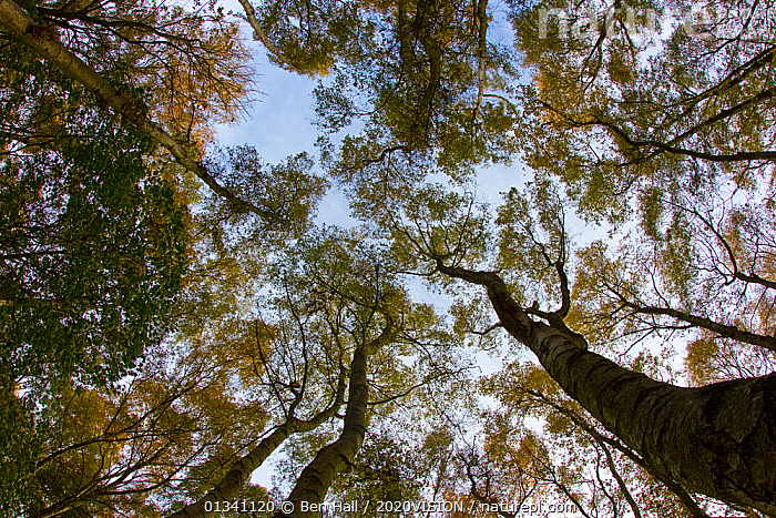 Wide-angle view looking up into birch woodland canopy, The National Forest, Central England, UK, November 2010, 2020VISION,ARTY SHOTS,AUTUMN,BACKGROUNDS,BETULACEAE,BHA_ 02_02112010_0057,CANOPY,DERBYSHIRE,DICOTYLEDONS,ENGLAND,EUROPE,FORESTS,KEYWORDS,LEICESTERSHIRE,LOW ANGLE SHOT,PLANTS,RESERVE,STAFFORDSHIRE,TREES,UK,WOODLANDS,United Kingdom, Ben Hall / 2020VISION
