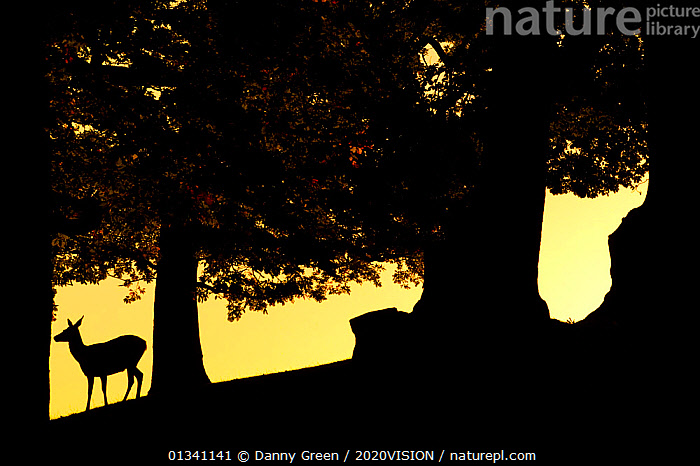 Red Deer (Cervus elaphus) silhouette of hind in woodland glade at dusk, Bradgate Park, Leicestershire, England, UK, October. Did you know? In the absence of natural predators, the UK red deer population has been growing for many years with an inevitable impact on ground vegetation., 2020VISON,ARTIODACTYLA,ATMOSPHERIC,Cervidae,DEER,dgr_04102010_0003,DUSK,ENGLAND,EUROPE,female,FEMALES,FORESTS,LOW ANGLE SHOT,MAMMALS,Park,parkland,picday,RESERVE,SILHOUETTES,TREES,TRUNKS,UK,VERTEBRATES,WOODLANDS,PLANTS,United Kingdom, Danny Green / 2020VISION