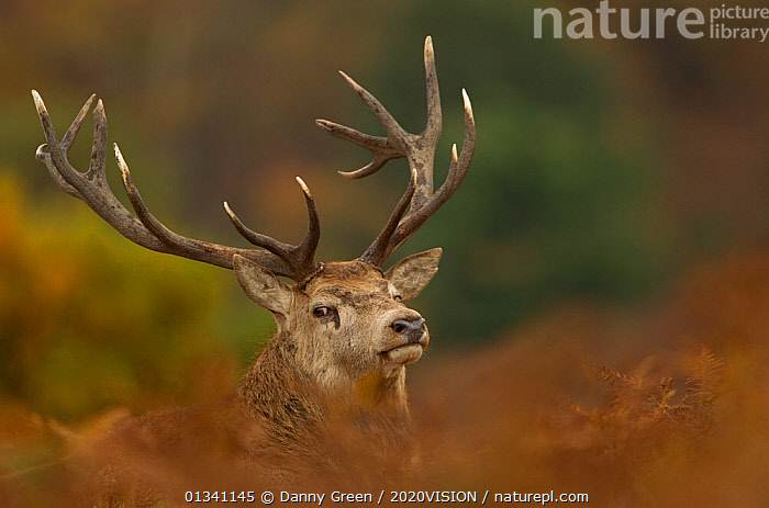 Red deer (Cervus elaphus) stag, portrait amongst bracken, Bradgate Park, Leicestershire, England, UK, November, 2020VISION,ANTLERS,ARTIODACTYLA,AUTUMN,CERVIDAE,DEER,DGR_05112010_0050,ENGLAND,EUROPE,FORESTS,LOOKING AT CAMERA,MALE,MAMMALS,PARKLAND,PORTRAITS,RESERVE,UK,VERTEBRATES,WOODLANDS,United Kingdom, Danny Green / 2020VISION