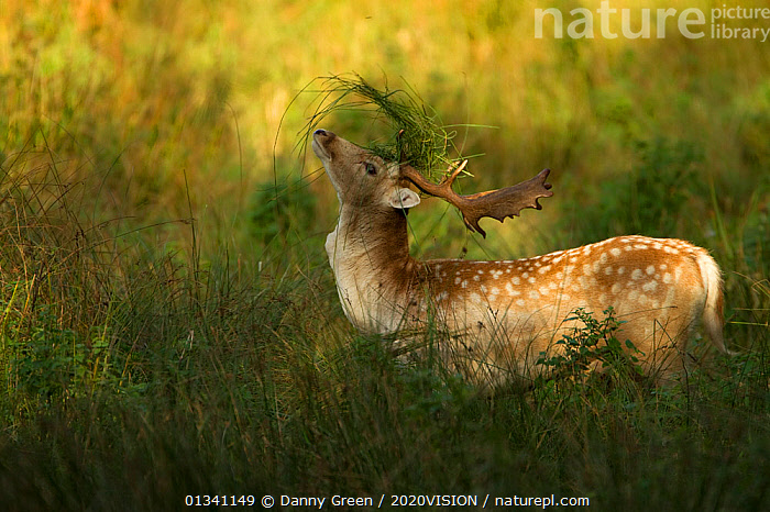 Fallow deer (Dama dama) buck covering antlers with long grass at rut, Bradgate Park, Leicestershire, England, UK, October, 2020VISION,ARTIODACTYLA,AUTUMN,CERVIDAE,DEER,DGR_06102010_0005,ENGLAND,EUROPE,FORESTS,MALES,MAMMALS,MATING BEHAVIOUR,PARK,PARKLAND,RESERVE,RUT,RUTTING,UK,VERTEBRATES,United Kingdom, Danny Green / 2020VISION