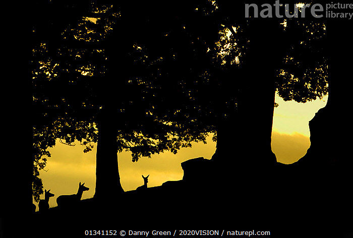 Red deer (Cervus elaphus) silhouette of hinds in woodland glade at dusk, Bradgate Park, Leicestershire, England, UK, October. Did you know? The Red Deer is the largest UK land mammal, with stags weighing up to 190 kilograms., 2020VISION,ARTIODACTYLA,ATMOSPHERIC,Cervidae,DEER,dgr_06102010_0008,DUSK,ENGLAND,EUROPE,female,FEMALES,FORESTS,MAMMALS,Park,parkland,picday,RESERVE,SILHOUETTES,TREES,UK,VERTEBRATES,WOODLANDS,PLANTS,United Kingdom,2020cc, Danny Green / 2020VISION