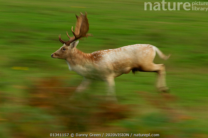 Fallow deer (Dama dama) buck running, Bradgate Park, Leicestershire, England, UK, October, 2020VISION,ACTION,ARTIODACTYLA,AUTUMN,BEHAVIOUR,BLURRED,CERVIDAE,DEER,DGR_11102010_0011,ENGLAND,EUROPE,FORESTS,MALE,MALES,MAMMALS,MOVEMENT,PARK,PARKLAND,RESERVE,STAG,UK,VERTEBRATES,WOODLANDS,YOUNG,United Kingdom,2020cc, Danny Green / 2020VISION