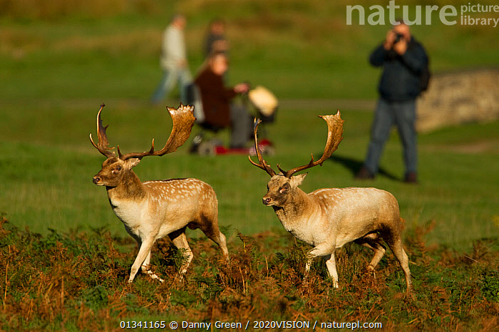 Fallow deer (Dama dama) two bucks sizing each other up, watched by park visitors, Bradgate Park, Leicestershire, England, UK, October 2010, 2020VISION,ARTIODACTYLA,AUTUMN,BEHAVIOUR,BUCKS,CERVIDAE,DEER,DGR_17102010_0019,DISABLED,DOMINANCE,ENGLAND,EUROPE,FORESTS,MALE,MALES,MAMMALS,OUTDOORS,PARK,PARKLAND,PEOPLE,PHOTOGRAPHY,RESERVE,RUT,RUTTING,STAG,TOURISM,TWO,UK,VERTEBRATES,WATCHING,WOODLANDS,United Kingdom, Danny Green / 2020VISION
