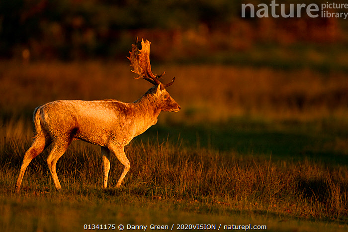 Fallow deer (Dama dama) stag walking at dawn, Bradgate Park, Leicestershire, England, UK, October, 2020VISION,ARTIODACTYLA,ATMOSPHERIC,AUTUMN,CERVIDAE,DAWN,DEER,DGR_20102010_0028,ENGLAND,EUROPE,FORESTS,LIGHT,MALES,MAMMALS,PARK,PARKLAND,PROFILE,RESERVE,UK,VERTEBRATES,WALKING,WOODLANDS,United Kingdom,2020cc, Danny Green / 2020VISION
