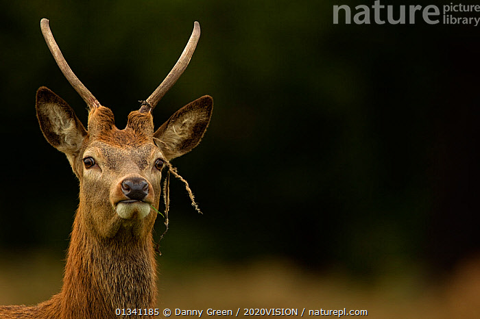 Red deer (Cervus elaphus) young stag with new antlers growing, Richmond Park, London, England, UK, October, 2020VISION,ANTLERS,ARTIODACTYLA,AUTUMN,CERVIDAE,DEER,DGR_21102010_0039,ENGLAND,EUROPE,FORESTS,GROWTH,MALE,MALES,MAMMALS,PARK,PARKLAND,PORTRAITS,RESERVE,STAG,UK,VERTEBRATES,VERTICAL,Concepts,United Kingdom, Danny Green / 2020VISION