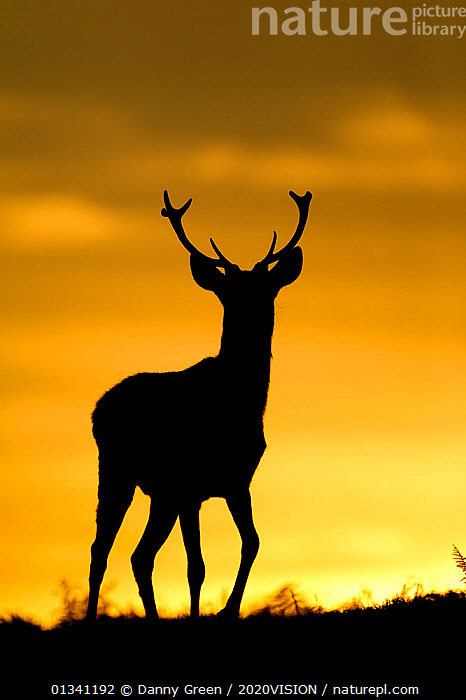Red deer (Cervus elaphus) silhouette of young stag against sunset, Bradgate Park, Leicestershire, England, UK, October, 2020VISION,ARTIODACTYLA,ATMOSPHERIC,CERVIDAE,DEER,DGR_25102010_0043,ENGLAND,EUROPE,FORESTS,LOW ANGLE SHOT,MALES,MAMMALS,PARK,PARKLAND,RESERVE,SILHOUETTES,STAG,SUNSET,UK,VERTEBRATES,VERTICAL,YELLOW,United Kingdom, Danny Green / 2020VISION