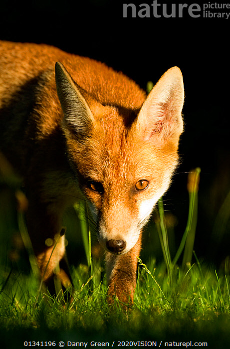Red Fox (Vulpes vulpes) cub in late evening light, Leicestershire, England, UK, July, 2020VISION,CANIDAE,CARNIVORES,DGR_04072010_0080,ENGLAND,EUROPE,EYES,FOXES,JUVENILE,LOOKING AT CAMERA,MAMMALS,PORTRAITS,UK,URBAN,VERTEBRATES,VERTICAL,United Kingdom,Dogs,Canids, Danny Green / 2020VISION