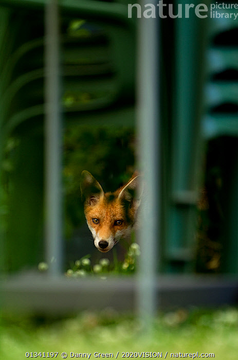Red Fox (Vulpes vulpes) cub peering through railings in garden, Leicestershire, England, UK, July, 2020VISION,CANIDAE,CARNIVORES,DGR_04072010_0081,ENGLAND,EUROPE,FENCE,FOXES,GARDENS,HABITAT,JUVENILE,MAMMALS,UK,URBAN,VERTEBRATES,VERTICAL,United Kingdom,Dogs,Canids, Danny Green / 2020VISION