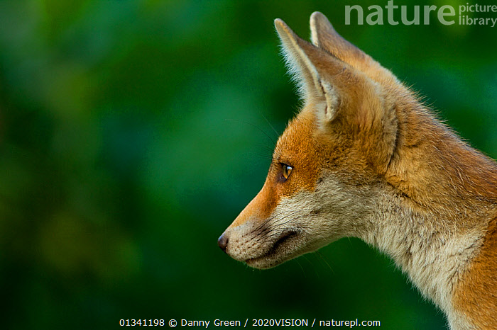 Red Fox (Vulpes vulpes) cub in late evening light, Leicestershire, England, UK, July, 2020VISION,CANIDAE,CARNIVORES,DGR_04072010_0082,ENGLAND,EUROPE,FOXES,JUVENILE,MAMMALS,PORTRAITS,PROFILE,UK,URBAN,VERTEBRATES,United Kingdom,Dogs,Canids, Danny Green / 2020VISION