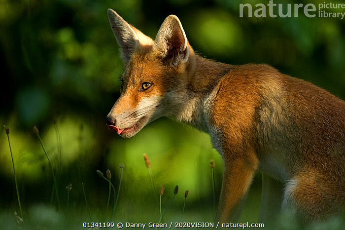 Red Fox (Vulpes vulpes) cub in late evening light, Leicestershire, England, UK, July, 2020VISION,CANIDAE,CARNIVORES,DGR_04072010_0083,ENGLAND,EUROPE,FOXES,JUVENILE,LICKING,MAMMALS,TONGUE,UK,URBAN,VERTEBRATES,United Kingdom,Dogs,Canids, Danny Green / 2020VISION
