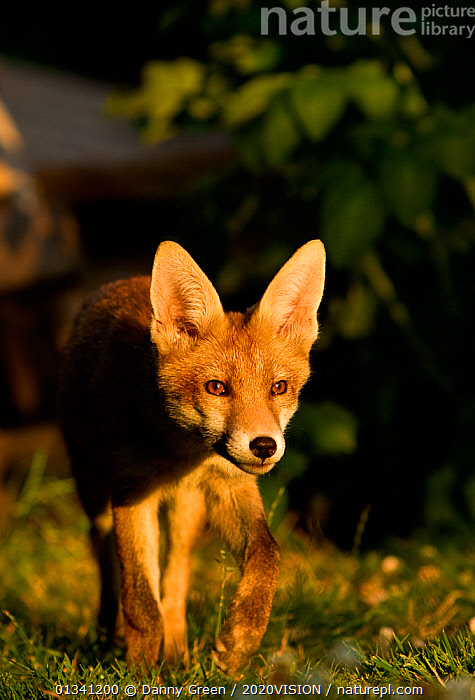 Red Fox (Vulpes vulpes) cub in late evening light, Leicestershire, England, UK, July, 2020VISION,CANIDAE,CARNIVORES,DGR_05072010_0084,ENGLAND,EUROPE,EYES,FOXES,JUVENILE,MAMMALS,STALKING,UK,URBAN,VERTEBRATES,VERTICAL,United Kingdom,Dogs,Canids, Danny Green / 2020VISION