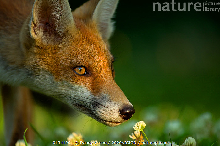 Red Fox (Vulpes vulpes) cub in late evening light, Leicestershire, England, UK, July, 2020VISION,CANIDAE,CARNIVORES,DGR_05072010_0085,ENGLAND,EUROPE,EYES,FOXES,JUVENILE,MAMMALS,PORTRAITS,UK,URBAN,VERTEBRATES,United Kingdom,Dogs,Canids, Danny Green / 2020VISION