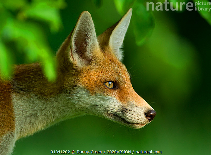 Red Fox (Vulpes vulpes) cub in late evening light, Leicestershire, England, UK, July, 2020VISION,CANIDAE,CARNIVORES,DGR_05072010_0086,ENGLAND,EUROPE,FOXES,JUVENILE,MAMMALS,PORTRAITS,UK,URBAN,VERTEBRATES,United Kingdom,Dogs,Canids,2020cc, Danny Green / 2020VISION