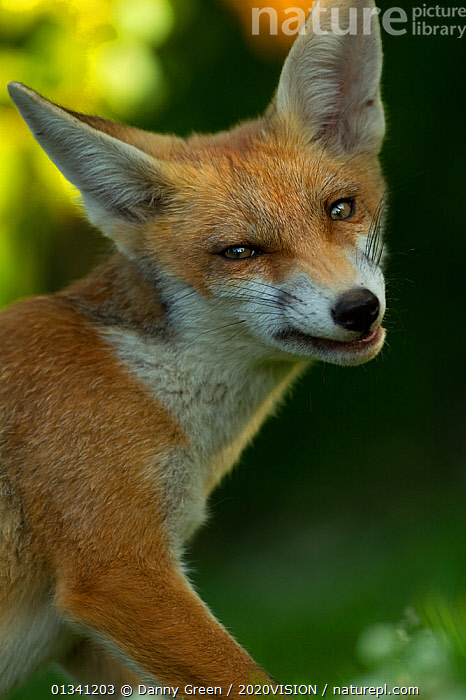 Red Fox (Vulpes vulpes) cub snarling in late evening light, Leicestershire, England, UK, July, 2020VISION,BEHAVIOUR,CANIDAE,CARNIVORES,DGR_05072010_0087,ENGLAND,EUROPE,EXPRESSIONS,FOXES,JUVENILE,MAMMALS,SNARLING,UK,URBAN,VERTEBRATES,VERTICAL,United Kingdom,Dogs,Canids, Danny Green / 2020VISION