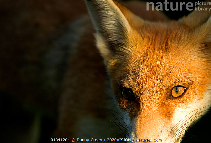 Red Fox (Vulpes vulpes) cub in late evening light, Leicestershire, England, UK, July, 2020VISION,CANIDAE,CARNIVORES,CLOSE UPS,DGR_05072010_0088,ENGLAND,EUROPE,EYES,FOXES,JUVENILE,MAMMALS,UK,URBAN,VERTEBRATES,United Kingdom,Dogs,Canids, Danny Green / 2020VISION