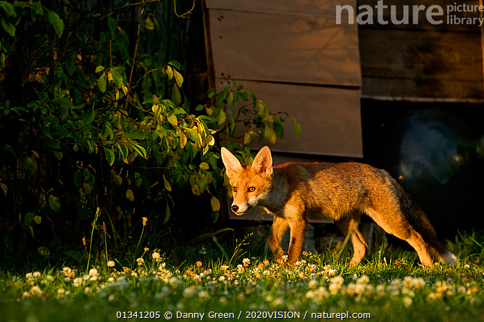 Red Fox (Vulpes vulpes) cub in garden in late evening light, Leicestershire, England, UK, July, 2020VISION,BUILDINGS,CANIDAE,CARNIVORES,DGR_05072010_0090,ENGLAND,EUROPE,FOXES,GARDENS,HABITAT,JUVENILE,MAMMALS,UK,URBAN,VERTEBRATES,United Kingdom,Dogs,Canids, Danny Green / 2020VISION