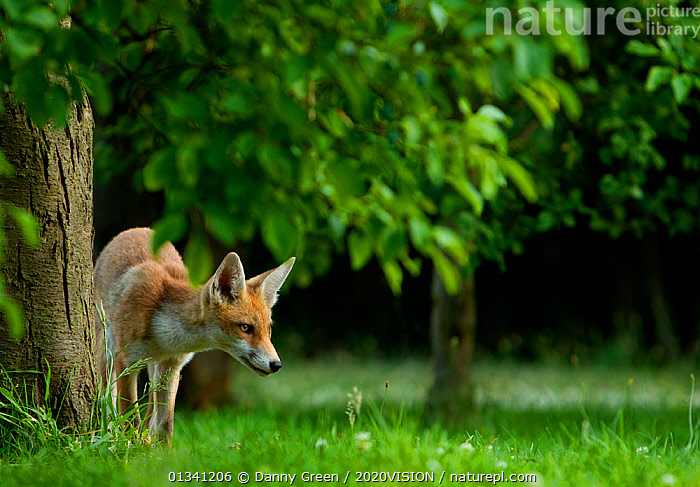 Red Fox (Vulpes vulpes) cub in garden in late evening light, Leicestershire, England, UK, July, 2020VISION,CANIDAE,CARNIVORES,DGR_05072010_0091,ENGLAND,EUROPE,FOXES,GARDENS,HABITAT,JUVENILE,MAMMALS,UK,URBAN,VERTEBRATES,United Kingdom,Dogs,Canids, Danny Green / 2020VISION